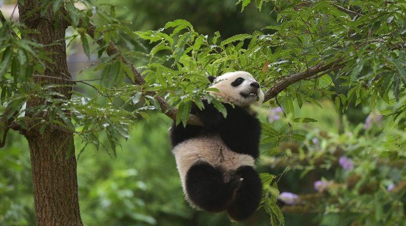 https: img-o.okeinfo.net content 2016 11 15 406 1541786 panda-kebun-binatang-guangzhou-lebih-aktif-di-musim-dingin-0XfZQGUg5d.jpg