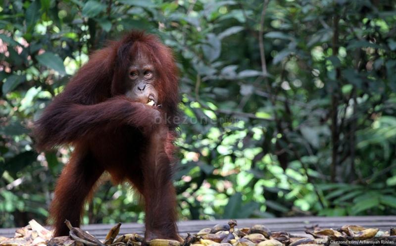https: img-o.okeinfo.net content 2017 04 05 406 1659276 menengok-orangutan-di-tanjung-harapan-kalimantan-aJfwBQz54q.jpg