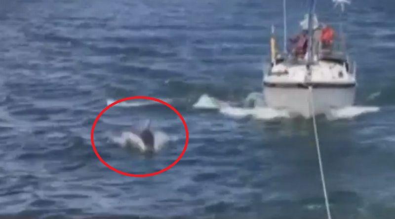 https: img-o.okeinfo.net content 2017 07 07 18 1730599 hebat-seekor-lumba-lumba-kawal-aksi-evakuasi-sebuah-kapal-yang-macet-di-tengah-laut-Wq31yDlmn3.jpg
