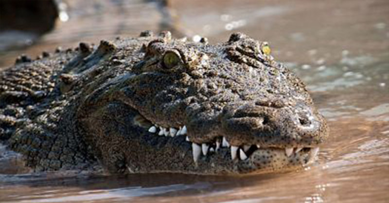https: img-o.okeinfo.net content 2017 07 12 340 1734285 warga-kotabaru-tiba-tiba-geger-ada-buaya-berjemur-di-sungai-dangkal-KQ3Ah1oZDa.jpg