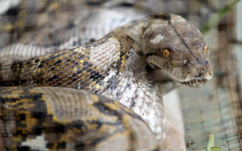 https: img-o.okeinfo.net content 2017 07 20 18 1740799 video-ngeri-kepala-terpenggal-ular-berbisa-ini-masih-bisa-mendesis-pqpVo1Yq1d.jpg