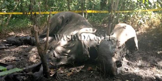 https: img-o.okeinfo.net content 2017 07 20 340 1740500 perburuan-makin-marak-di-aceh-4-ekor-gajah-liar-ditemukan-mati-af3rq3GGvK.jpg