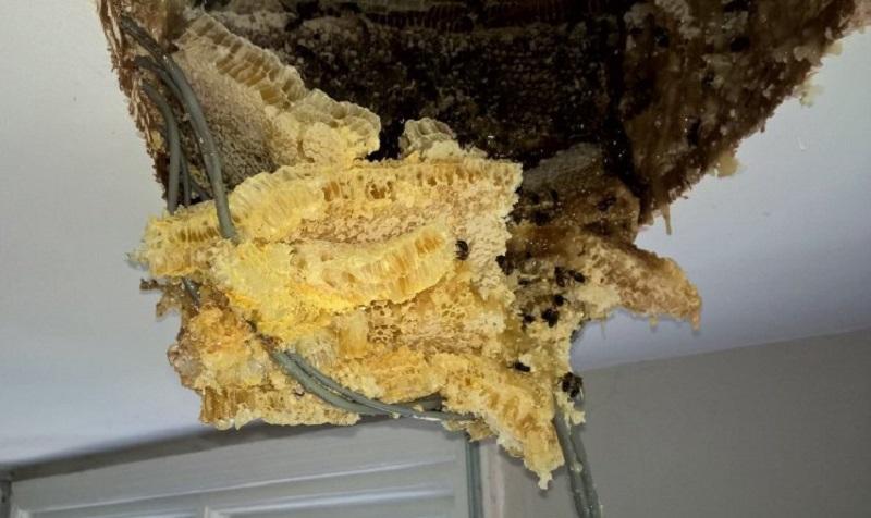 https: img-o.okeinfo.net content 2017 08 29 298 1765501 curiga-ada-tetesan-madu-dari-langit-langit-setelah-dibongkar-ternyata-terdapat-sarang-lebah-besar-kok-bisa-Om8avAySAy.jpg