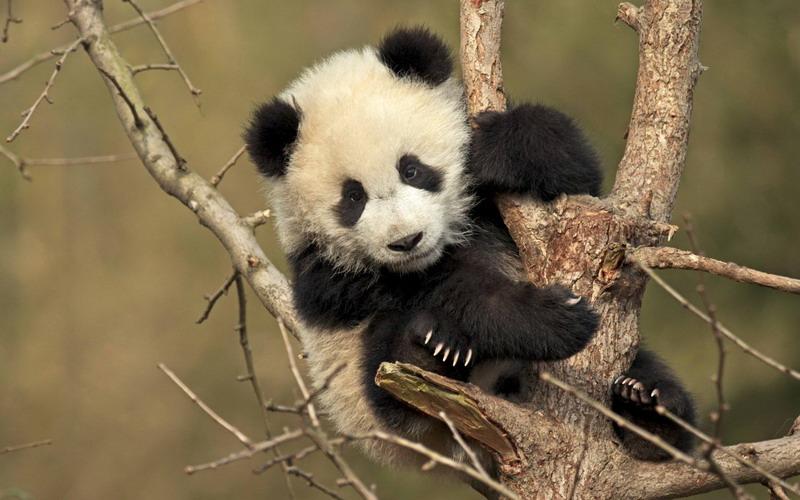 https img o.okeinfo.net content 2017 09 04 406 1768852 gemas terjebak di pepohonan bayi panda raksasa ini malah tidur siang O0SQHj2MzO.jpg