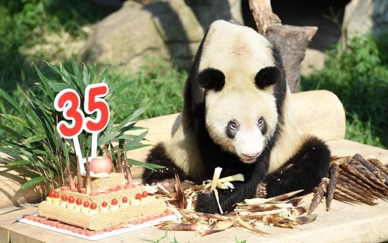 https: img-o.okeinfo.net content 2017 09 17 18 1777536 wow-kesehatannya-terjaga-nenek-panda-di-china-rayakan-ultah-ke-35-X4yLJTReOz.jpg