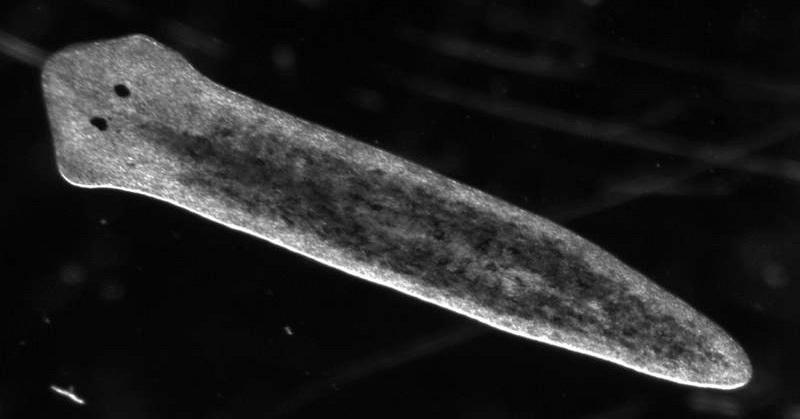 73 Gambar Reproduksi Cacing Pipih Paling Keren
