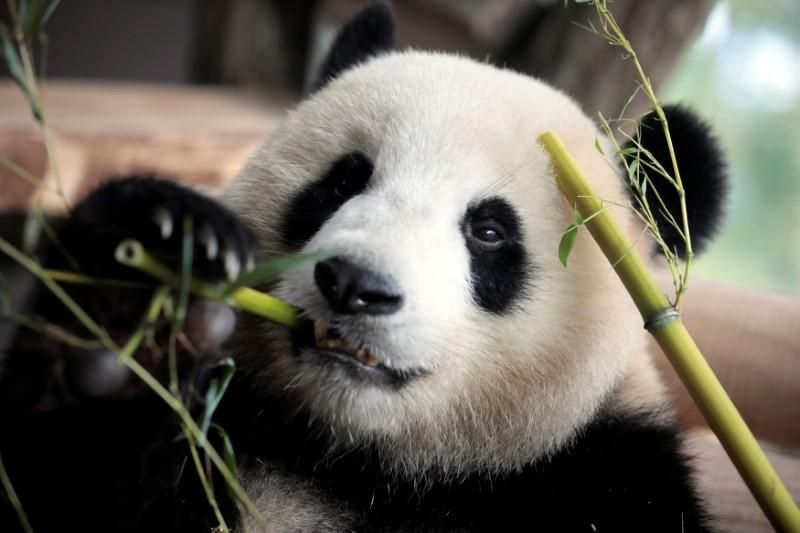 https: img-o.okeinfo.net content 2017 10 23 18 1800840 unik-panda-di-jerman-punya-kebiasaan-berjalan-mundur-guU5laGA0j.jpg