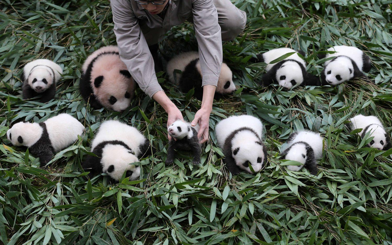 https: img-o.okeinfo.net content 2017 10 31 406 1805475 lucu-dan-menggemaskan-china-pamer-36-bayi-panda-J6LwedvWFE.jpg