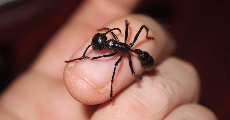 https: img-o.okeinfo.net content 2017 11 24 56 1819705 selain-terbesar-semut-peluru-juga-punya-gigitan-paling-menyakitkan-62XyH3hHVS.jpg