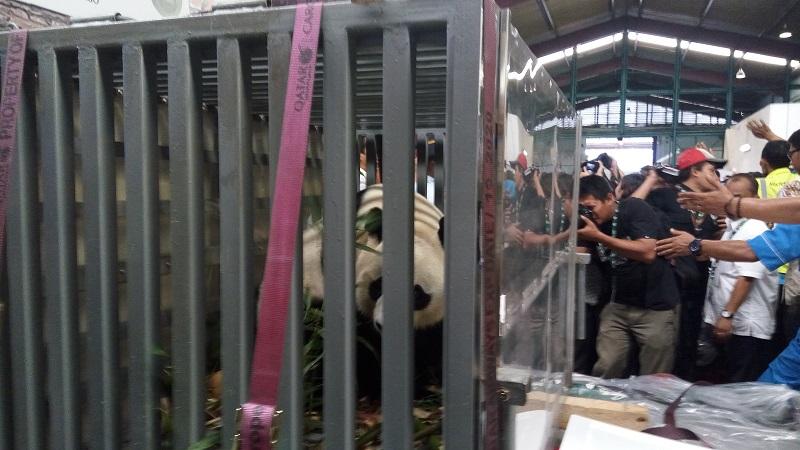 https: img-o.okeinfo.net content 2017 11 27 406 1821369 tengok-sepasang-panda-raksasa-pemerintah-tiongkok-kunjungi-indonesia-3W8UjnJ6KN.jpg
