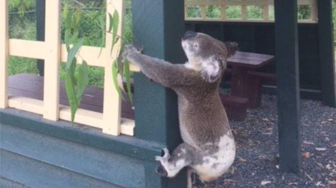 Foto: Koala Rescue Queensland