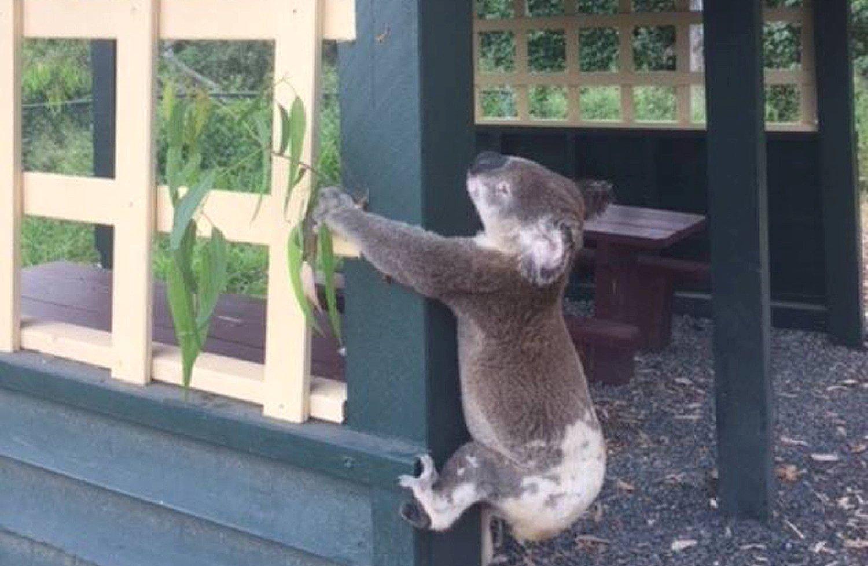 https: img-o.okeinfo.net content 2018 01 11 18 1843568 kepolisian-australia-selidiki-kematian-koala-yang-dipaku-ke-tiang-8uaPrfLB1Q.JPG