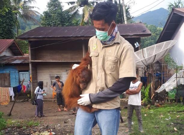https: img-o.okeinfo.net content 2018 02 15 340 1860339 lemas-tak-berdaya-bayi-orangutan-sumatera-dievakuasi-di-aceh-tenggara-NImDzeVQxo.jpg