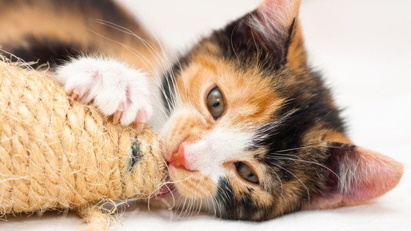 https: img-o.okeinfo.net content 2018 03 07 56 1869406 selalu-betina-kucing-calico-ternyata-bisa-jadi-jantan-kok-bisa-pcDQAEYnsS.jpg