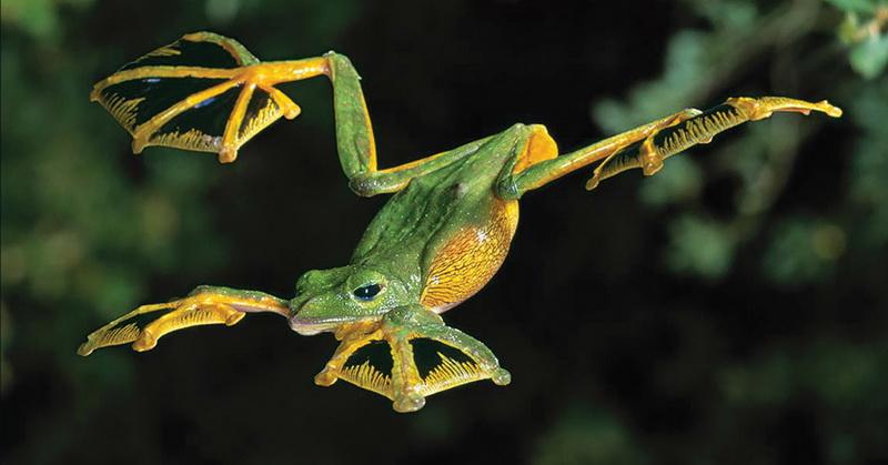 https: img-o.okeinfo.net content 2018 06 23 56 1913167 saat-terancam-katak-ini-mampu-terbang-setinggi-50-kaki-RgY7MJDfa3.jpg
