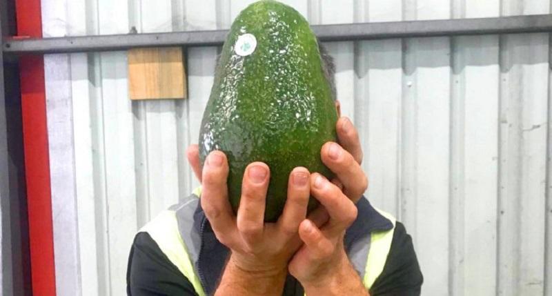 https: img-o.okeinfo.net content 2018 07 12 298 1921381 ini-dia-alpukat-raksasa-australia-beratnya-capai-1-7-kg-per-buah-hwXZor4cNH.jpg