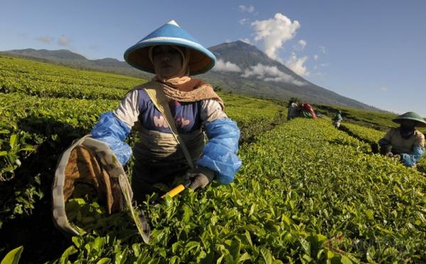 https: img-o.okeinfo.net content 2018 07 14 320 1922313 teh-indonesia-terima-penghargaan-teas-of-the-world-toJ0FzeC02.jpg
