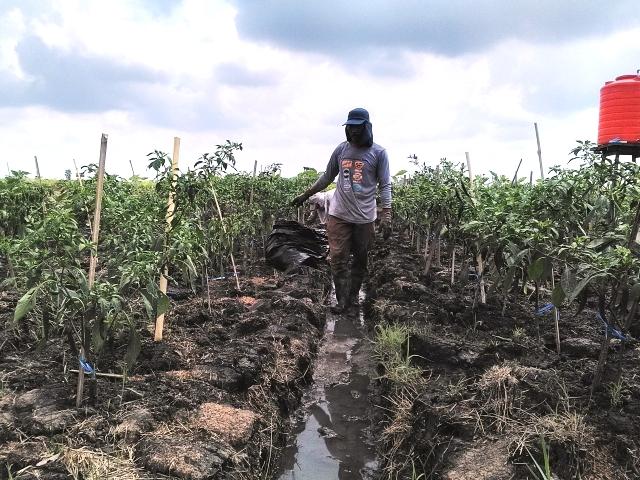 https: img-o.okeinfo.net content 2018 10 12 340 1963271 bagaimana-pertanian-kalsel-tetap-hidup-meski-dikelilingi-rawa-dan-tanah-kering-5EDMuBUia2.jpg