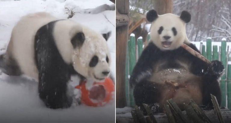 https: img-o.okeinfo.net content 2018 11 02 406 1972595 pertama-kali-rasakan-salju-2-panda-ini-lakukan-aksi-lucu-ZphMynGDAw.jpg