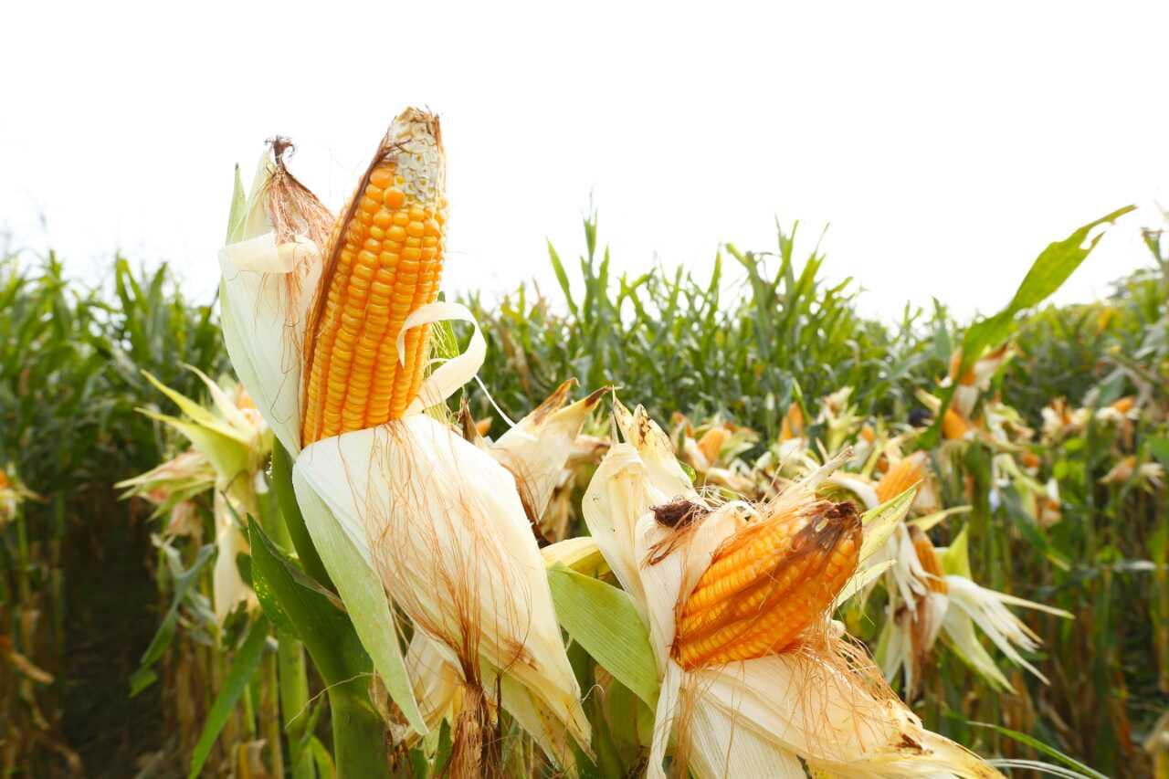 https: img-o.okeinfo.net content 2018 11 09 320 1975743 jagung-impor-akan-dijual-ke-peternak-rp4-000-per-kg-dONoDKQKOv.jpg