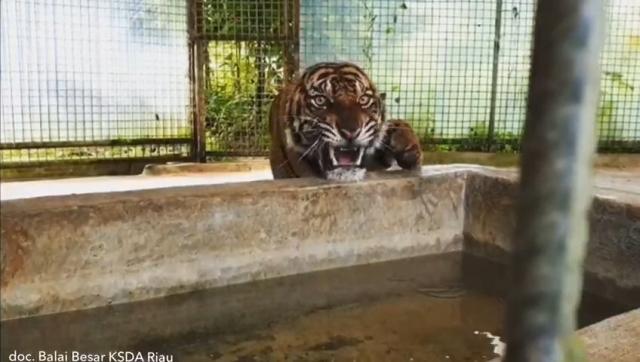 https: img-o.okeinfo.net content 2018 11 21 340 1980625 kondisi-atan-harimau-yang-terperangkap-di-ruko-mulai-membaik-WYUMs3DT65.jpg