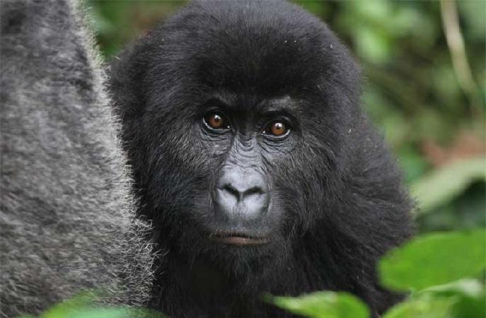 https: img-o.okeinfo.net content 2018 12 07 56 1988007 daur-ulang-ponsel-selamatkan-populasi-gorila-benarkah-UGmU7f03fR.jpg