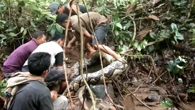 https: img-o.okeinfo.net content 2018 12 12 340 1990518 niat-cari-belut-warga-temukan-ular-7-meter-yang-awalnya-dikira-batang-pohon-nR1yHZbzq0.jpg