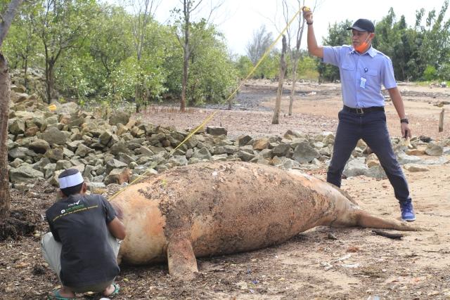 https: img-o.okeinfo.net content 2019 01 28 340 2010388 dugong-seberat-400-kilogram-terdampar-di-karimun-kepulauan-riau-LCunP5Cvft.jpg