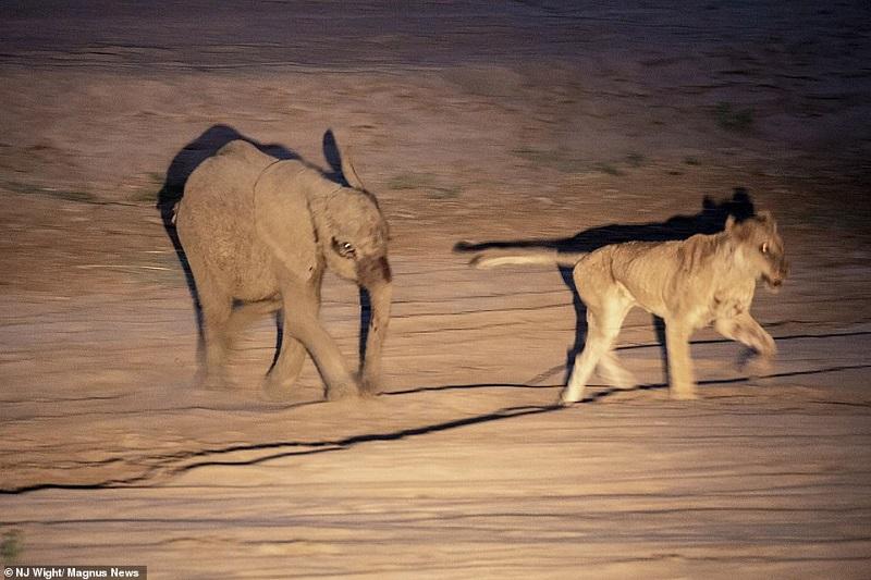https: img-o.okeinfo.net content 2019 02 08 406 2015268 terancam-dimangsa-bayi-gajah-hajar-singa-betina-hingga-tewas-rGLepwRrTO.jpg