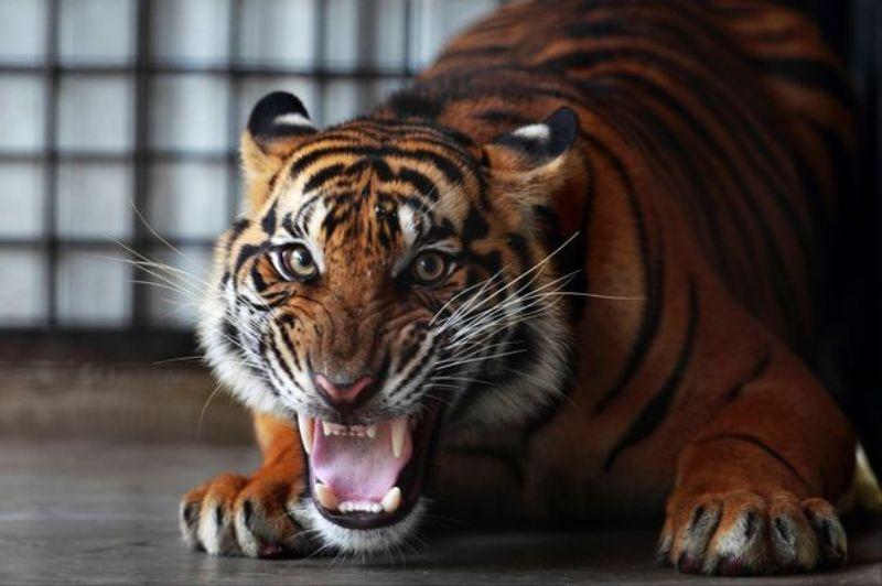 https: img-o.okeinfo.net content 2019 02 13 18 2017247 datang-ke-rumah-kosong-untuk-menghisap-ganja-pria-as-temukan-harimau-buas-X4aHgH1cz8.jpg
