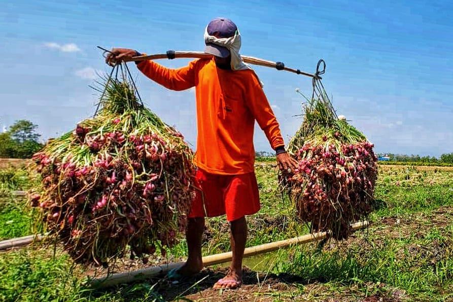 https: img-o.okeinfo.net content 2019 02 14 320 2017803 petani-bawang-merah-brebes-panen-hasilnya-untung-6txh41UsH5.jpeg