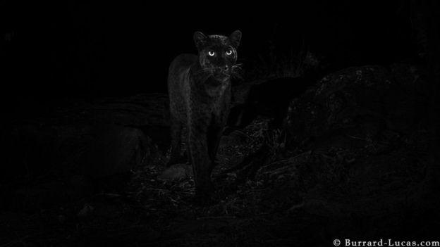 https: img-o.okeinfo.net content 2019 02 15 18 2018199 setelah-100-tahun-black-panther-kembali-tertangkap-kamera-di-hutan-afrika-TcNXo1u9ch.jpg
