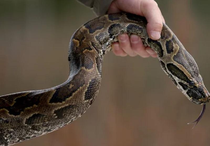 https: img-o.okeinfo.net content 2019 02 18 340 2019552 geger-ada-ular-piton-3-meter-di-plafon-rumah-warga-pangkalan-bun-0jrmqT3wa5.JPG