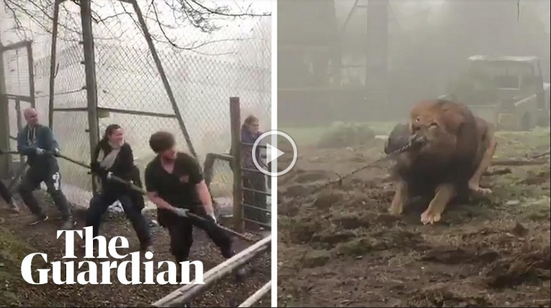 https: img-o.okeinfo.net content 2019 02 25 406 2022685 gelar-atraksi-tarik-tambang-dengan-singa-kebun-binatang-ini-dikecam-ODPGomQGzK.jpg
