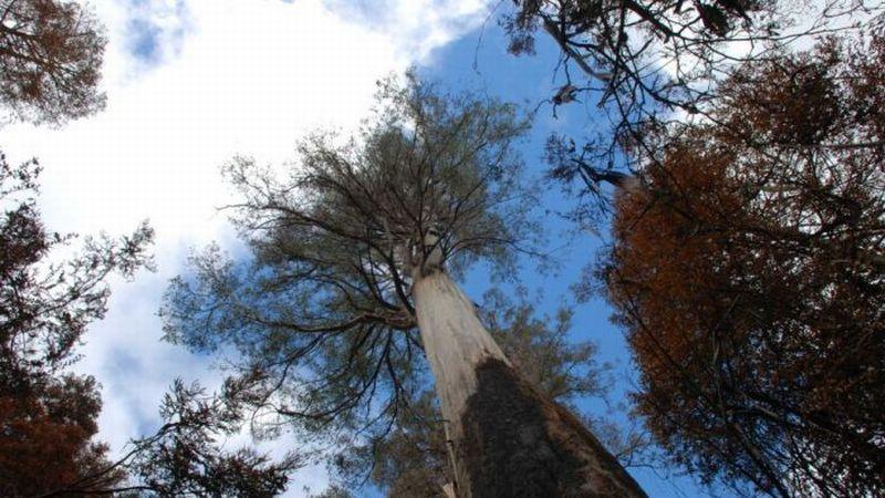 https: img-o.okeinfo.net content 2019 02 27 18 2023336 diterjang-kebakaran-hutan-pohon-tertinggi-di-australia-tetap-kokoh-epjTuxppVo.jpg