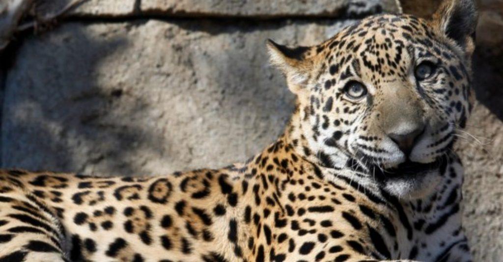 https: img-o.okeinfo.net content 2019 03 15 406 2030373 diselamatkan-botol-minum-wanita-ini-selamat-dari-terkaman-jaguar-ma7vylhwxf.jpg