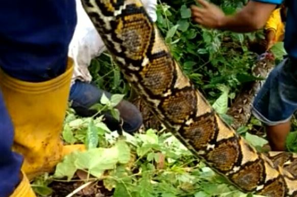 https: img-o.okeinfo.net content 2019 03 17 609 2031233 pria-ini-injak-ular-6-meter-yang-baru-saja-menelan-sapi-BVLMtCGH4d.JPG