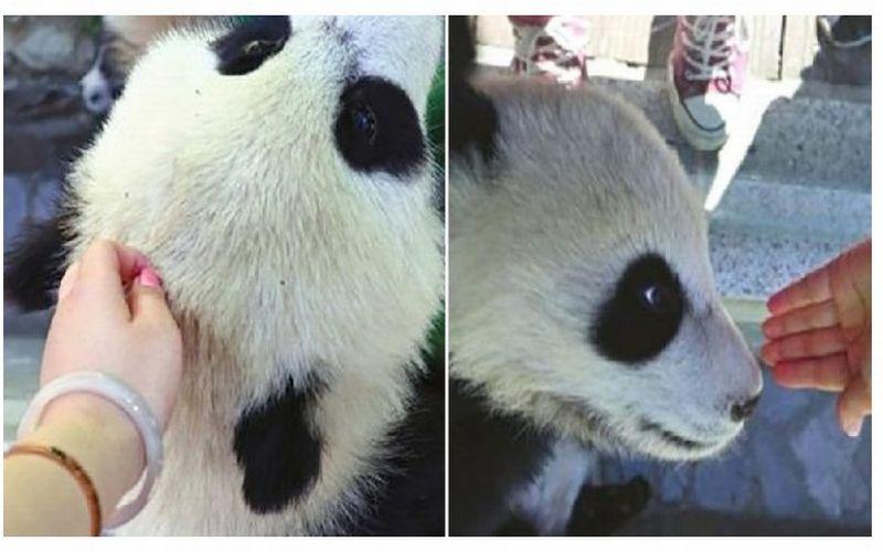 https: img-o.okeinfo.net content 2019 04 22 406 2046570 sentuh-bayi-panda-wanita-ini-diserbu-netizen-vb8HFNCl4n.jpg