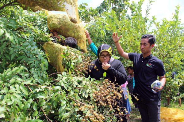 https: img-o.okeinfo.net content 2019 04 23 298 2047175 mencicipi-kelengkeng-rasa-durian-di-desa-sigit-NaZlKmqOrq.jpg