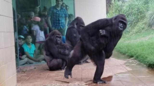 https: img-o.okeinfo.net content 2019 05 17 18 2057051 tingkah-lucu-gorila-menghindari-hujan-kontras-dengan-wajahnya-yang-sangar-qCZOqo1ZtP.jpg