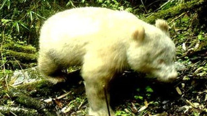 https: img-o.okeinfo.net content 2019 05 30 18 2062254 untuk-pertama-kalinya-kemunculan-panda-albino-tertangkap-kamera-YcSInG0mzn.jpg