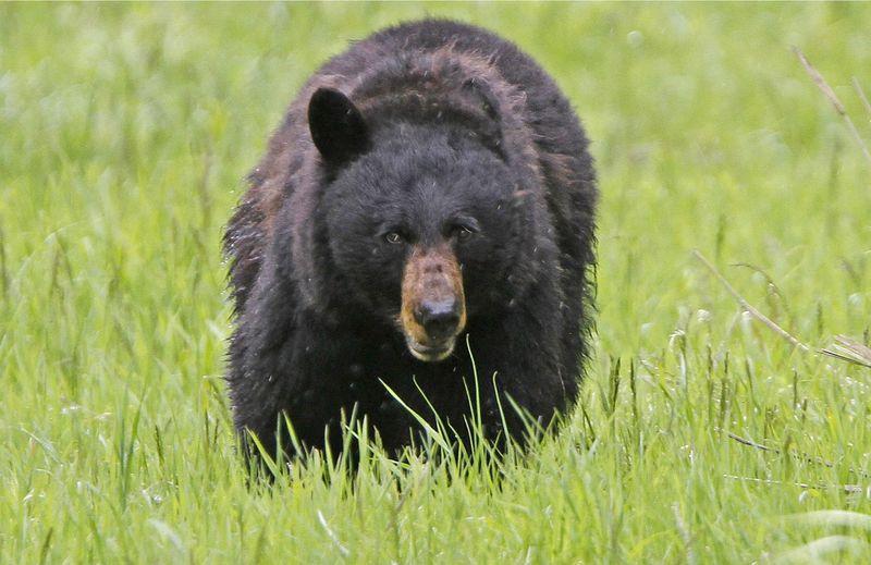 https: img-o.okeinfo.net content 2019 06 11 18 2065307 pria-di-rusia-selamat-dengan-menggigit-lidah-beruang-yang-menyerangnya-g2GTaQYFaN.jpg