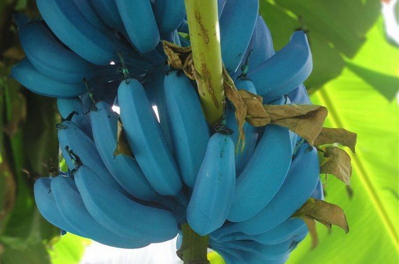 https: img-o.okeinfo.net content 2019 06 13 612 2066220 pisang-biru-langka-ini-benar-benar-ada-diberi-nama-blue-java-nE97MbaUXz.jpg