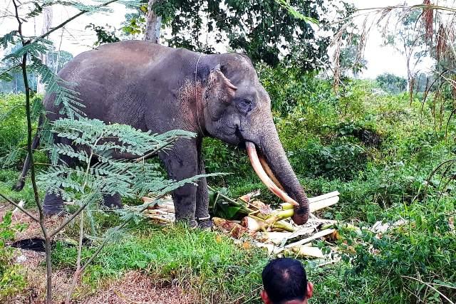 https: img-o.okeinfo.net content 2019 06 17 340 2067364 2-gajah-latih-kelelahan-hadapi-gajah-liar-di-permukiman-warga-MyK0R6pJ48.jpg
