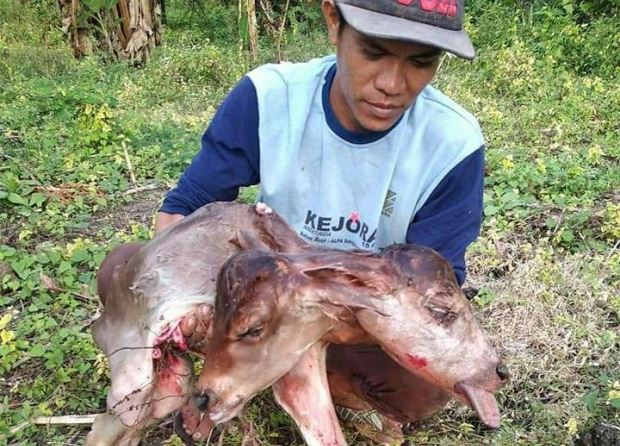https: img-o.okeinfo.net content 2019 06 26 609 2070954 anak-sapi-berkepala-2-gegerkan-warga-bone-UwAhkI5yCO.JPG