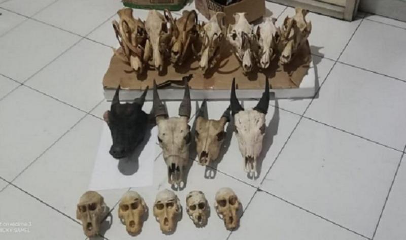 https: img-o.okeinfo.net content 2019 07 21 340 2081647 penjual-tengkorak-satwa-liar-di-manado-ditangkap-polisi-rVhlnMUNLN.jpg