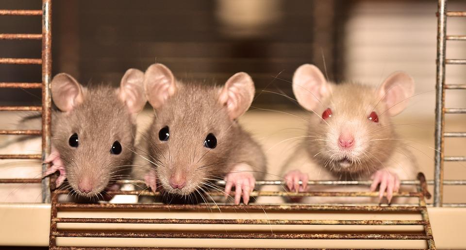 https: img-o.okeinfo.net content 2019 07 21 481 2081700 hati-hati-ini-4-penyakit-berbahaya-yang-disebabkan-oleh-tikus-RaW8Ybrohx.jpg