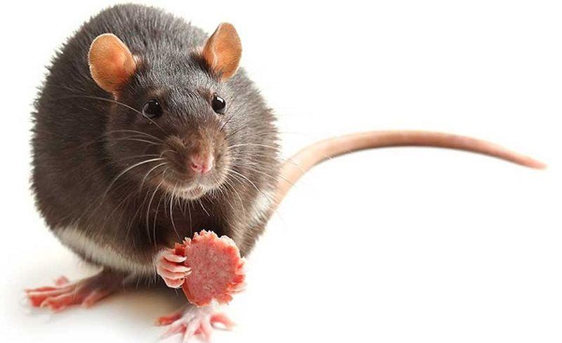 https: img-o.okeinfo.net content 2019 07 21 612 2081759 benarkah-menyantap-bayi-tikus-tingkatkan-stamina-pria-8MEVgT70hv.jpg