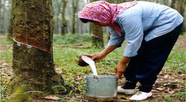 https: img-o.okeinfo.net content 2019 07 24 320 2083036 kena-penyakit-jamur-produksi-karet-indonesia-diprediksi-turun-15-FsJgqWWtvZ.jpg