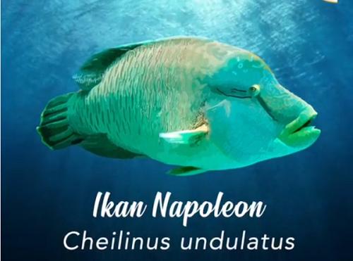 https: img-o.okeinfo.net content 2019 07 28 320 2084654 kenalkan-ini-ikan-napoleon-dengan-panjang-2-meter-harganya-rp1-4-juta-kg-NcM3Ly4Won.png